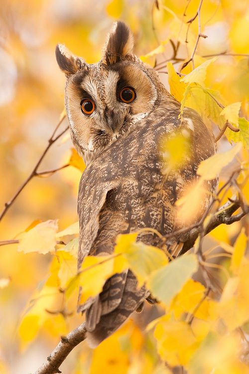 Long-eared Owl (Ransuil) (by Denis Bitter)