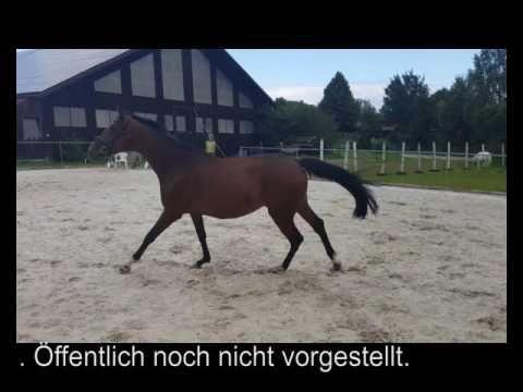 Verkaufspferde 2016. Dressur u. Springen. Freilaufen.