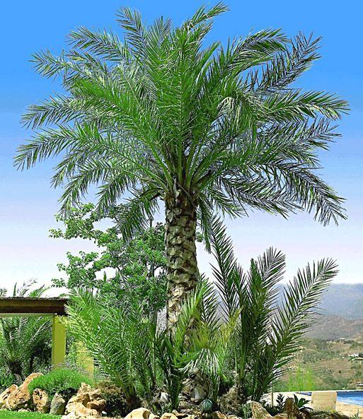 Chilenische Honigpalme 1a Qualitat Kaufen Baldur Garten Winterharte Palmen Garten Mediteraner Garten