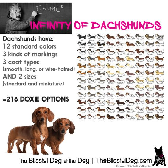 Dachshunds Have Over 200 Possible Coat Color Size And Coat Type