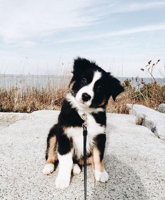 Most Current Absolutely Free Bernese Mountain Dogs Border Collie Suggestions Being Fully A Working B Kopek Turleri Sevimli Hayvan Yavrulari Cok Sirin Hayvanlar