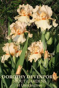 Iris DOROTHY DEVENPORT | Stout Gardens at Dancingtree