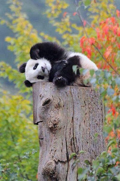 Kunstwerk: 'Een kleine panda' van Wilma Prins