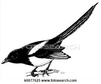 Stock Illustration - Black-billed Magpie 1. Fotosearch - Search Clipart, Drawings, Decorative Prints, Illustrations, and Vector EPS Graphics Images