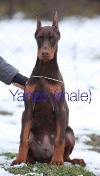 Doberman Pinscher Puppy For Sale In Murrieta Ca Adn 69285 On