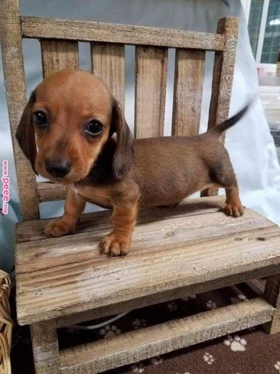 Cute Dachshund Puppy Cute Dachshund Puppies Sausage Dog Puppies