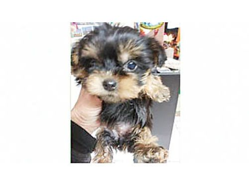 They Luv All Kennel Hounds Dogs And All Kinds Of Cats Mountain View Dogs For Sale And Adopti In 2020 Maltese Yorkie Mix Yorkshire Terrier For Sale Yorkshire Puppies