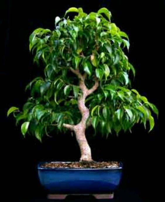 bonsai and ficus on pinterest. Black Bedroom Furniture Sets. Home Design Ideas
