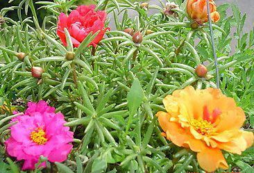 moss-rose for the rockery.....