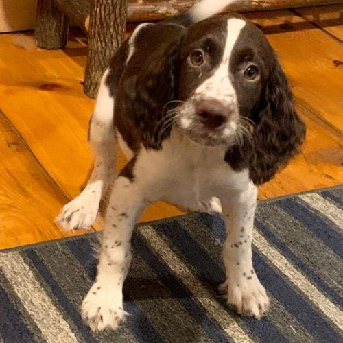Stanley English Springer Spaniel Puppies For Sale In East Palestine Ohio Spaniel Puppies For Sale Spaniel Puppies Springer Spaniel Puppies