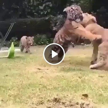 Brincadeira entre Felinos.