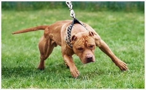 Colby Pitbull Bloodline A Well Respected Dog
