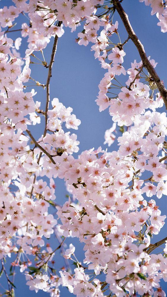 Cherry Blossom Tree Cherry Blossom Wallpaper Flower Wallpaper Apple Blossom Flower