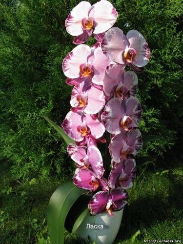 Киевский Клуб Любителей Орхидей - орхидейный форум, купить орхидею, продажа видовых растений, виды орхидей, уход за орхидеями в домашних условиях, фаленпсис, дендробиум, каттлея, камбрия, ванда, продажа орхидей