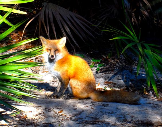 Fox at the Tallahassee Museum.
