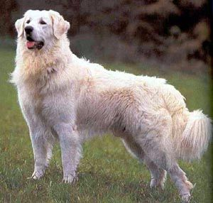 Kuvasz Dog. So beautiful!