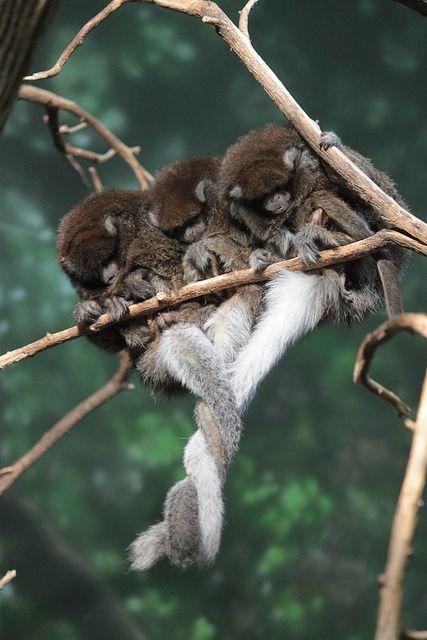 4 sleeping titi monkeys (Callicebus donacophilus, the Bolivian Gray Titi Monkey)