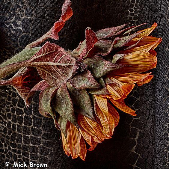 Sunflower Bones 4861 by mick99c, via Flickr