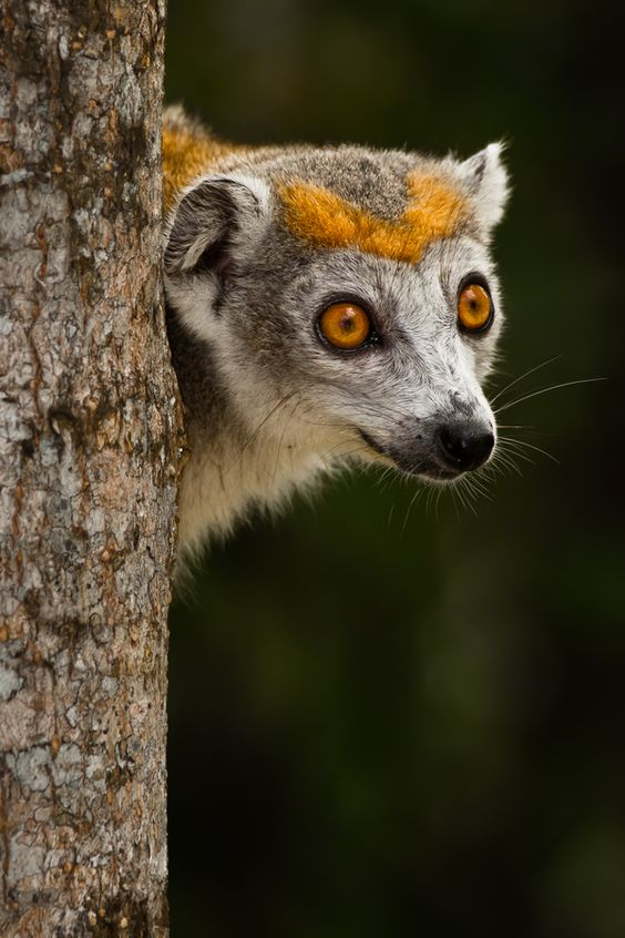 Crowned Lemur in Madagascar.: