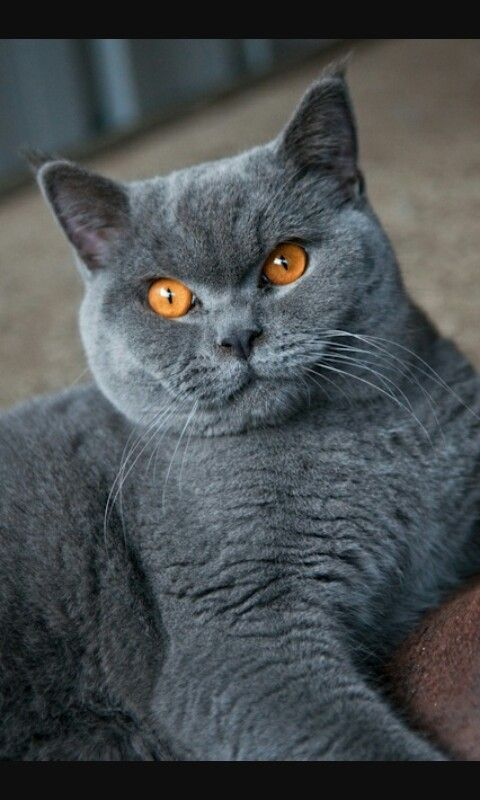 19 Best Cats Images On Pinterest British Shorthair Blue Cat Cats And Kittens Beautiful Cats British Shorthair Cats