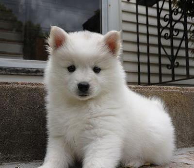American Eskimo Dog - flat out fuzzy!