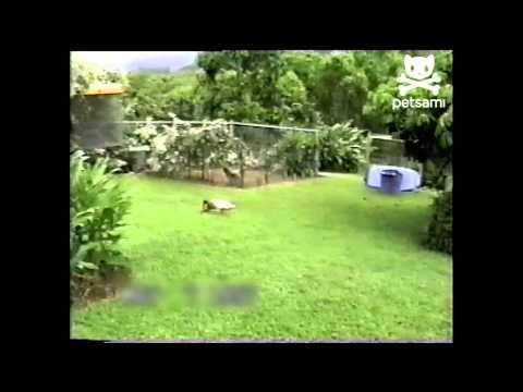 Duck thinks it's a dog and plays fetch soooooo freakin cute.