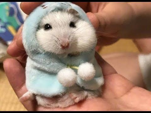 Cute Hamster Try Not To Laugh With Funny Hamster Videos Compilation Youtube In 2020 Funny Hamsters Cute Hamsters Cute Animals