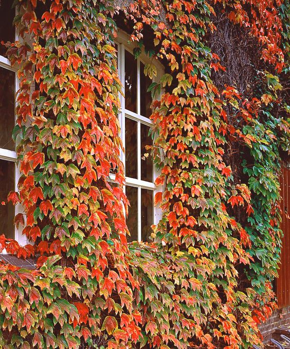 Virginia creeper climbing plants for a wood fence mine for Climbing flowering plants for fences