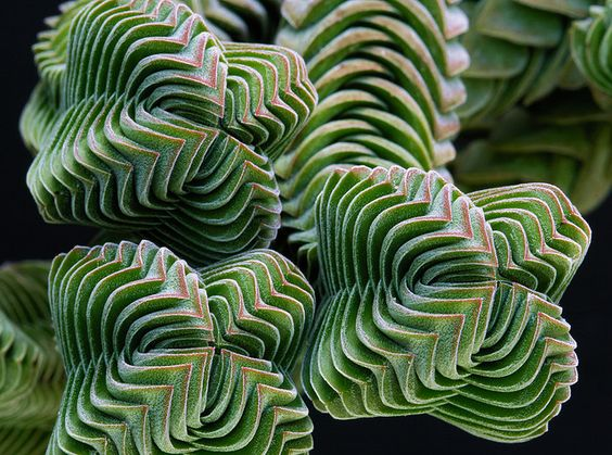 Crassula Buddha's Temple - love the geometry of this succulent - must be a Fibonacci series in here somewhere: