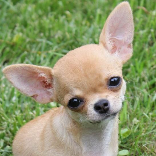 Looks Like My Scooby Doo Chihuahua Puppies Baby Chihuahua