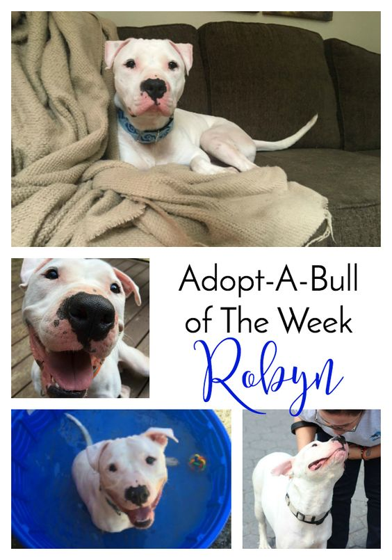 Adopt-A-Bull of The Week – Robyn in New Hampshire   http://www.thelazypitbull.com/adopt-a-bull-robyn-new-hampshire/