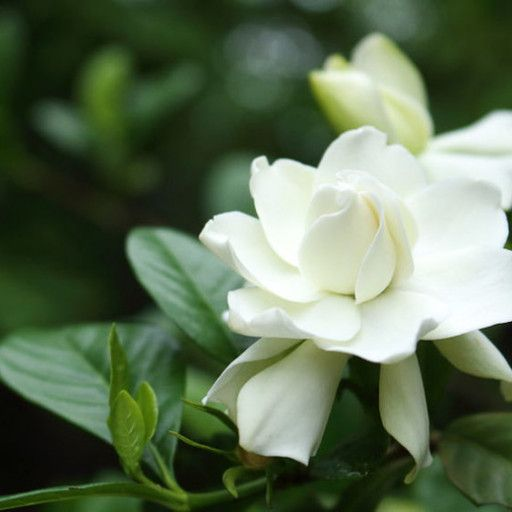 Four Seasons Gardenia Single Plants Gardenia Plant Dwarf Gardenia Fragrant Flowers
