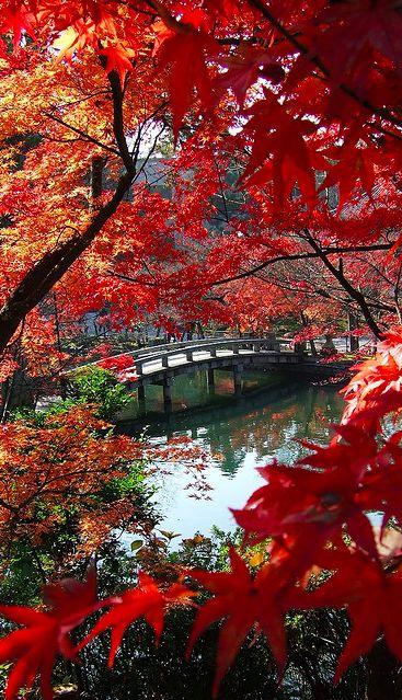 L'automne est une saison absolument magique ou le ciel bleu contraste avec le rougissement des feuilles d'érables.  Kyoto, Japon