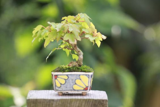とうかえでの超ミニ盆栽 の画像|超ミニ盆栽のブログ