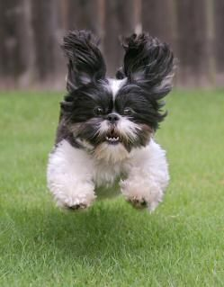 Nothing cuter than a shih tzu running your way: