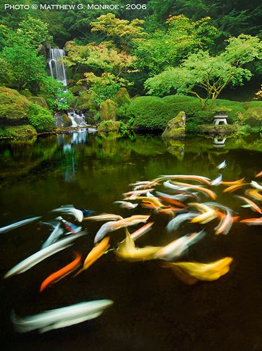 Portland japanese garden koi pond those who say there is for Koi water garden