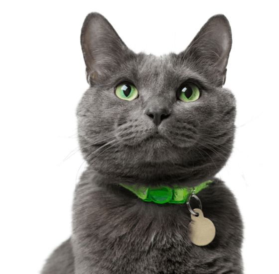 Russian Blue Kittens For Sale Adoptapet Com In 2020 Russian Blue Russian Blue Cat Cat Breeder