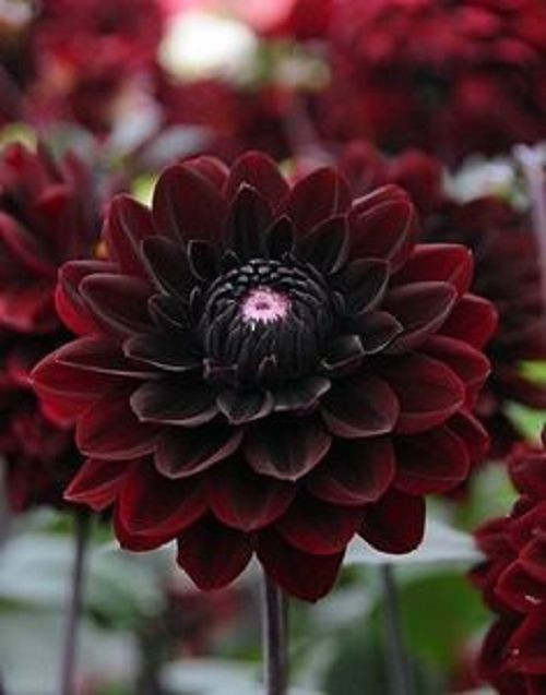 Pin On Red Flowers