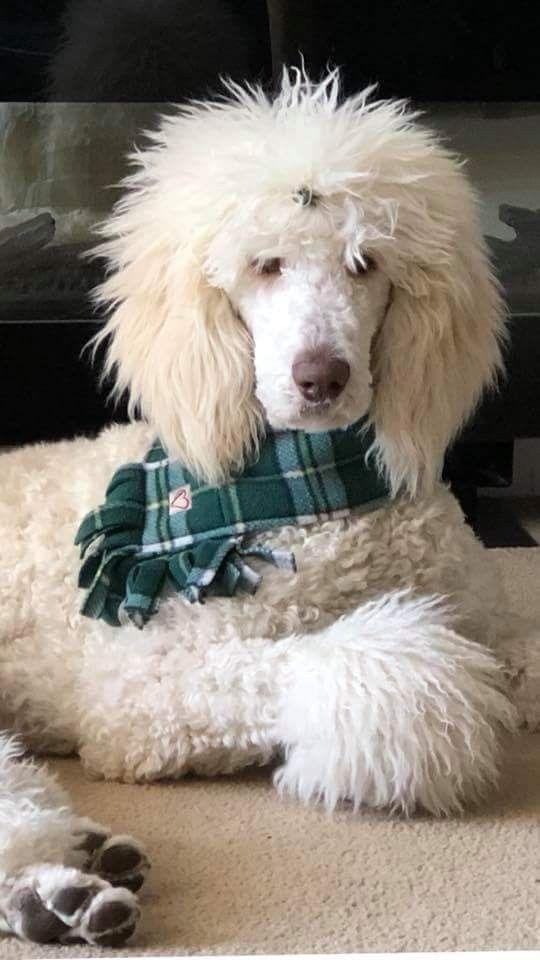 Oliver 10 Months Poodle Dog Dog Breeds Poodle Mom