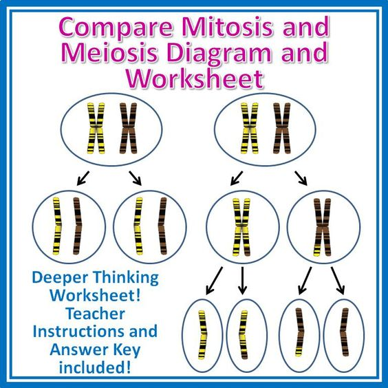 Worksheets Meiosis Diagram Worksheet compare mitosis and meiosis cut paste activity worksheet two page to help students for grades 9 12