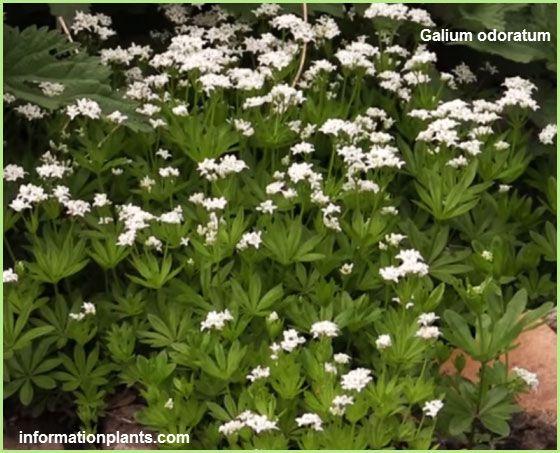 الجويسئة العطرة Galium Odoratum قسم النبات العطري نبات عطري معلومان عامه معلوماتية نبات حيوان اسماك فوائد Plants Herbs