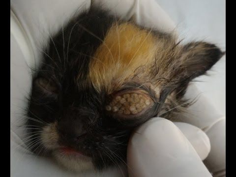 Poor Kitten Is Having Worms From Both Eyes Kucing Mata Kucing Mata