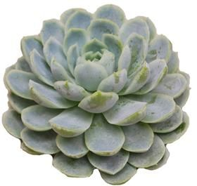 Everyone is really looking at Succulents to add an untraditional element to their weddings and events!