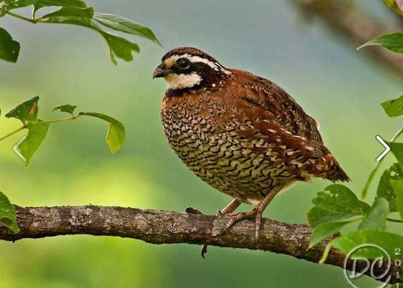 Quail!: Things I Love, America Quail, Meadow, Tree Branches, White Quail, Beautiful Birds, Bird America, Photo