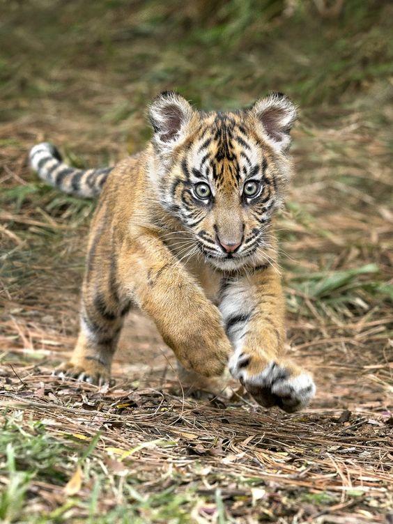 Suka the Sumatran tiger cub has the world by the tail.