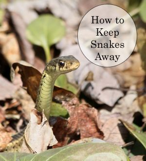 Keeping snakes out of your yard and garden gardens - How do you keep squirrels out of your garden ...