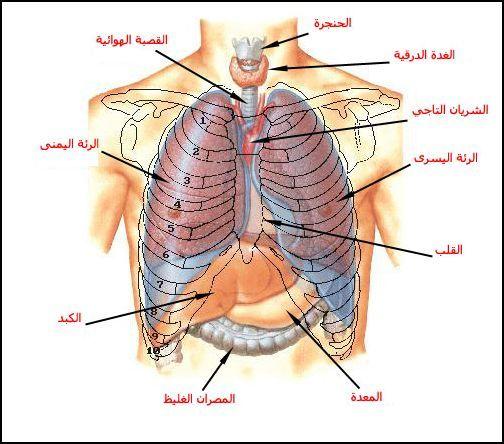 بحث حول الجهاز التنفسي أعضاء التنفس لدى الإنسان الموسوعة المدرسية In 2021 Medical Words Human Body Anatomy Medical Art