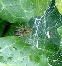 Image detail for -grass spider Grass Spider