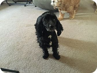 Mentor, OH - Poodle (Miniature)/Scottie, Scottish Terrier Mix. Meet Jasmine 1yr, a dog for adoption. http://www.adoptapet.com/pet/15488561-mentor-ohio-poodle-miniature-mix