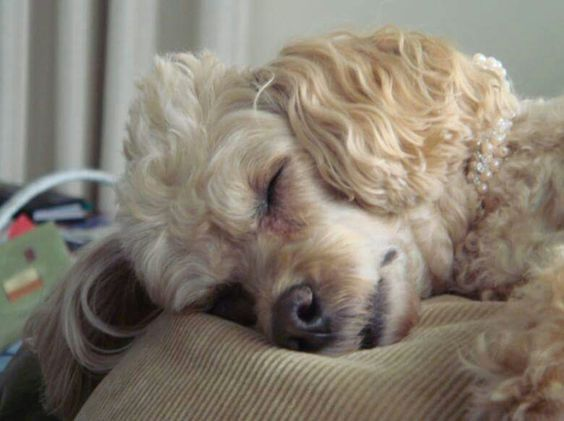 Poodle all tired out
